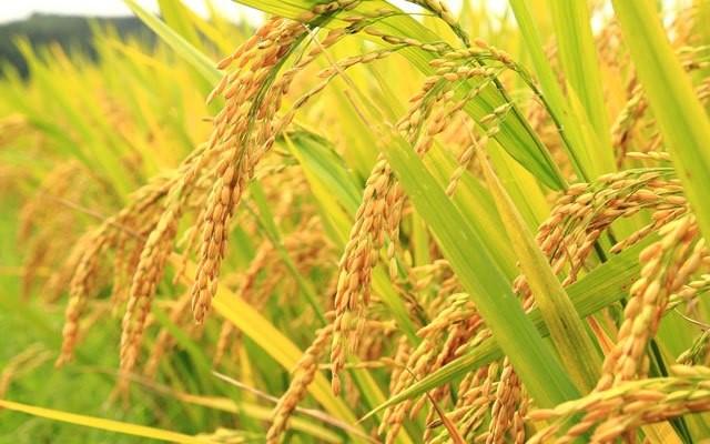 Đặc sản gạo Tám Hải Hậu Nam Định