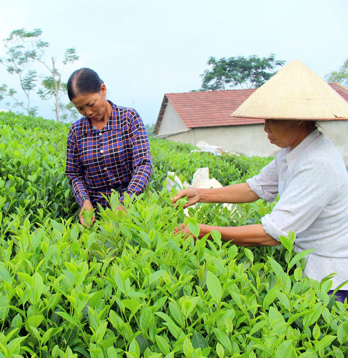 3 loại đặc sản chè Thái Nguyên vùng Tân Cương ngon nổi tiếng