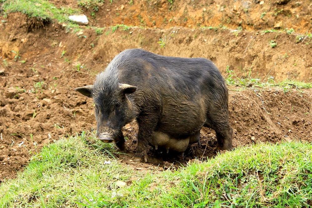 Thịt lợn cắp nách
